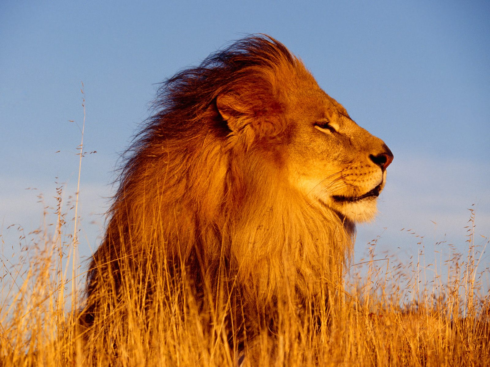 30 + Beautiful And Stunning Lion Pictures